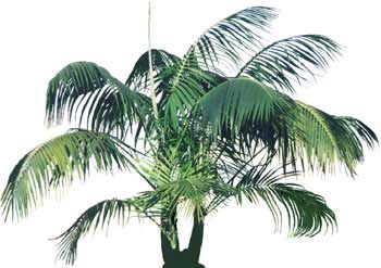 "Kentia Palm - ""Howea belmoreana"""
